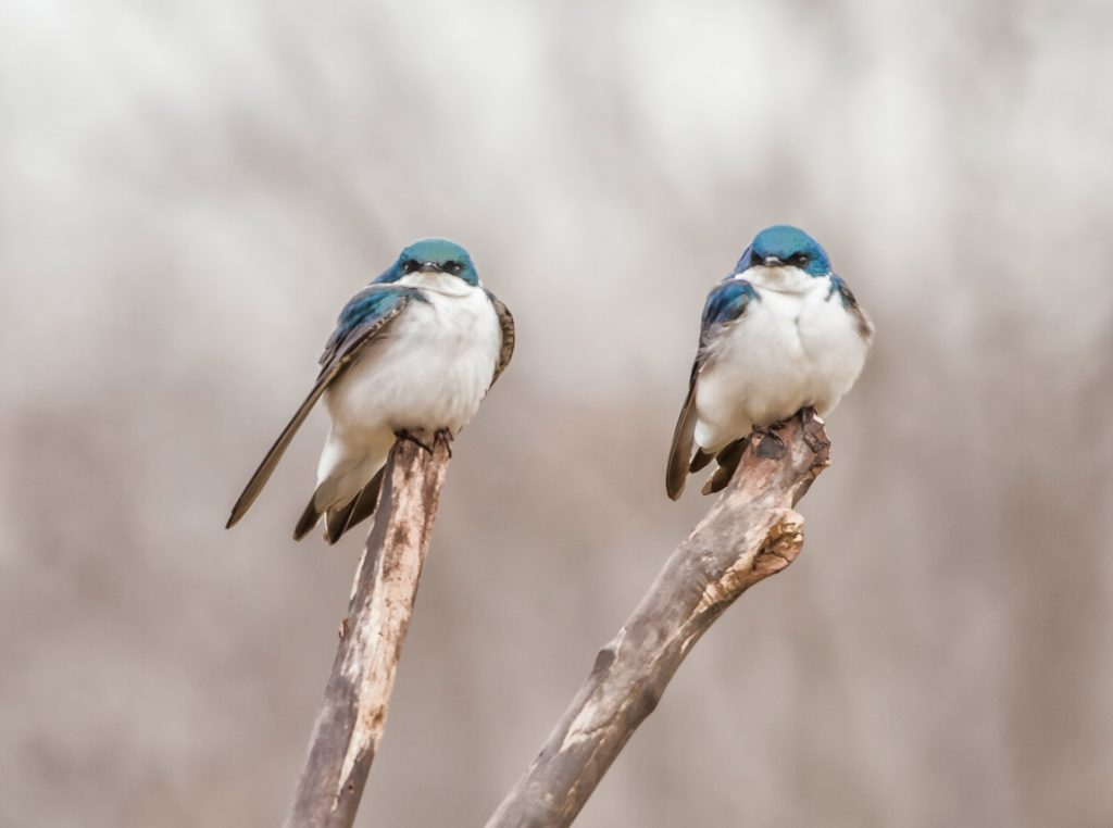 Two Blue and White Birds